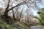 0414谷戸城桜1