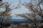 0414谷戸城桜3