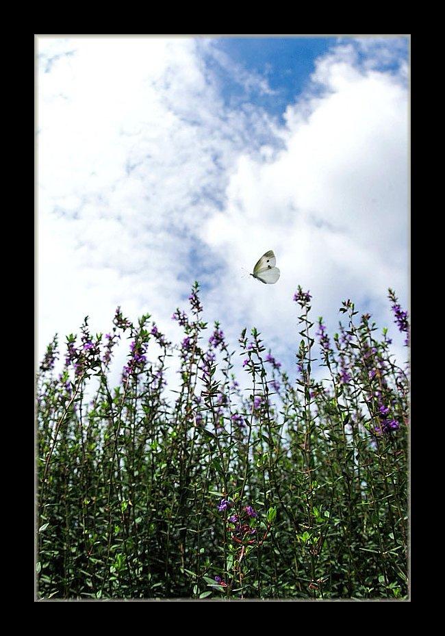 ミソハギに蝶