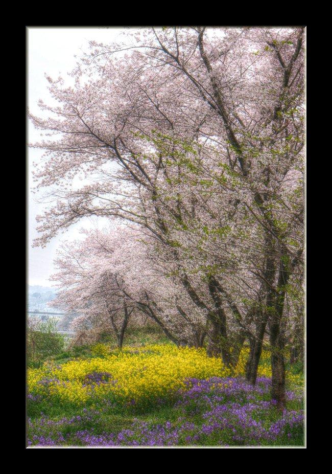 桜と菜の花と紫花菜と