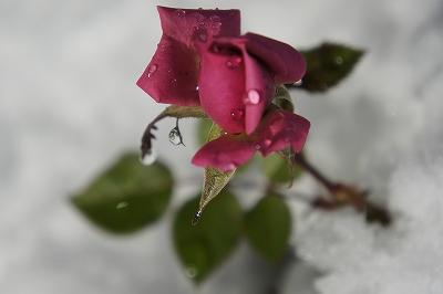 雪の中のミニ薔薇1