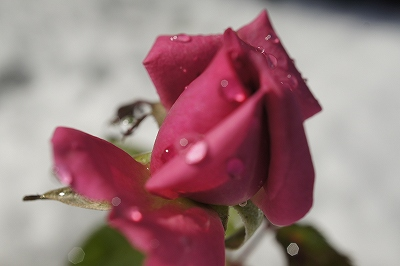 雪の中のミニ薔薇2
