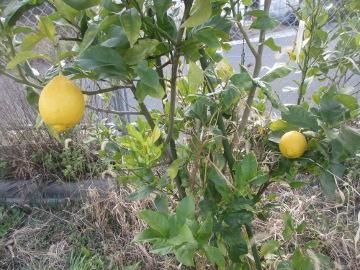 柑橘類いろいろ2