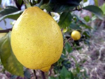 柑橘類いろいろ3