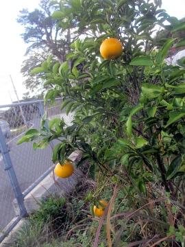 柑橘類いろいろ4