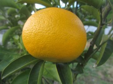 柑橘類いろいろ5