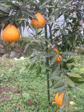 柑橘類いろいろ7