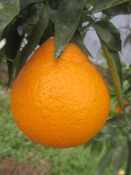 柑橘類いろいろ8