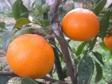 柑橘類いろいろ10