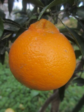 柑橘類いろいろ9