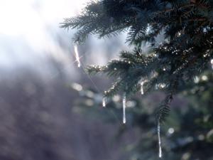 冬 氷 つらら 寒さ 木_convert_20130112114841
