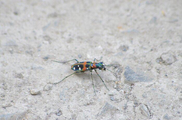 ハンミョウs(甲虫目)