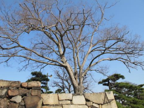 想い出の蝉捕りの木