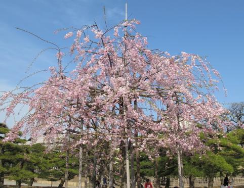 玉藻公園のしだれ桜(桜の馬場)