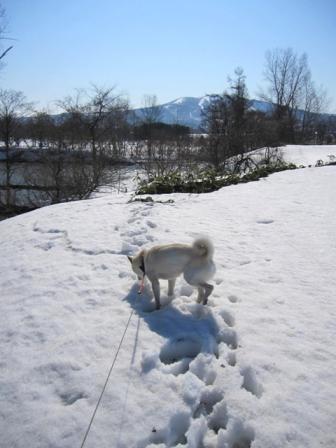 たつのすけも埋まるザクザクな雪