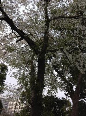 20130331sakura7.jpg