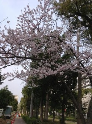 20130331sakura8.jpg