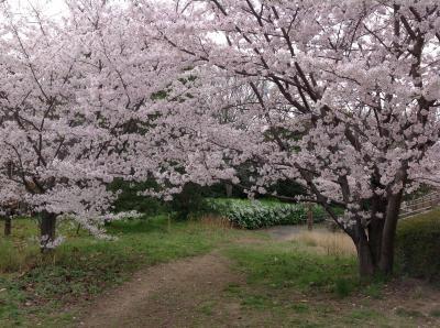 20130406sakura3.jpg
