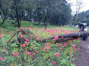倒れた大木と彼岸花