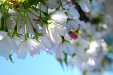 sakura1_20110604011645.jpg
