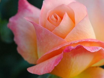 黄ピンクバラ