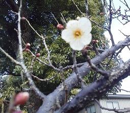 20120204お寺の梅