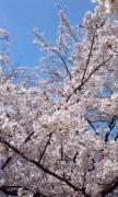 お花見0408 (2)