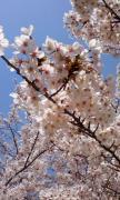 お花見0408
