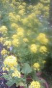 菜の花2012