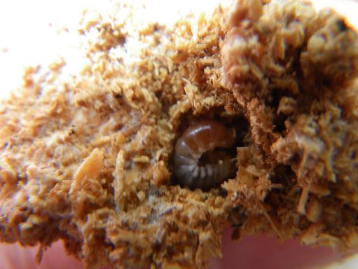 チャベ 5.25日 幼虫