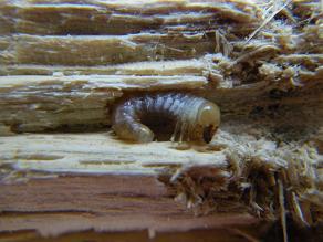 YG-B 0609 幼虫4