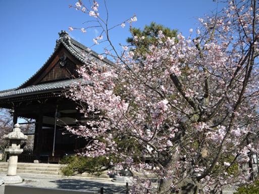 妙蓮寺 御会式桜001