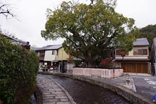 上賀茂神社 藤木社のクスノキ(明神川沿い)001