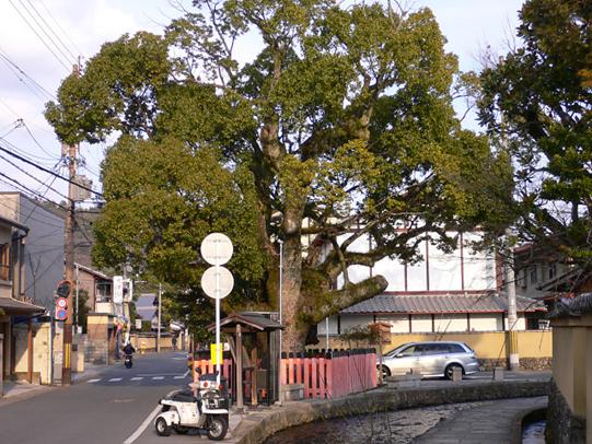 上賀茂神社 藤木社のクスノキ(明神川沿い)006