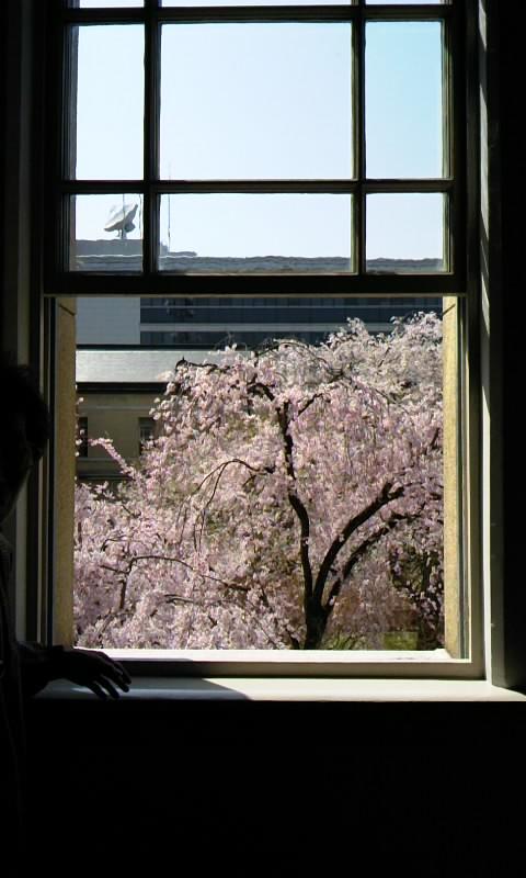 窓から桜2