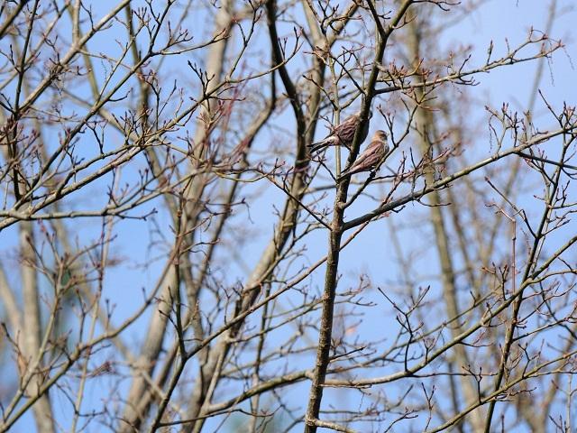 ハギマシコ樹6P