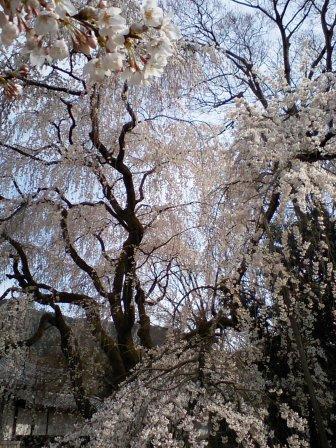 しだれ桜・霊宝館前