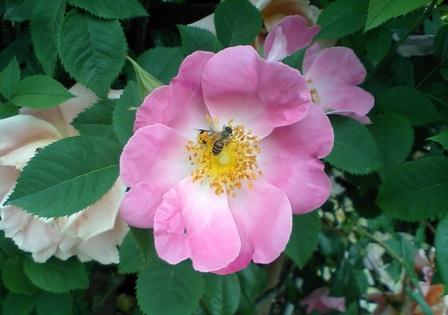 薔薇とミツバチ♪