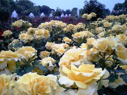 薔薇が満開♪
