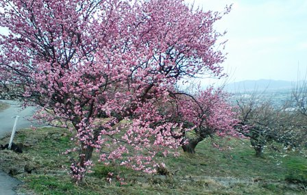 綾部山梅林の梅