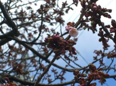 万代長嶺小学校脇の桜-20110310