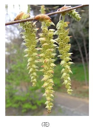 アカシデの花