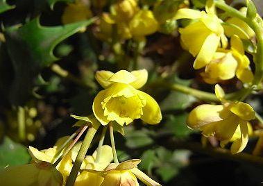 柊南天(マホニア)の花 季節の花300