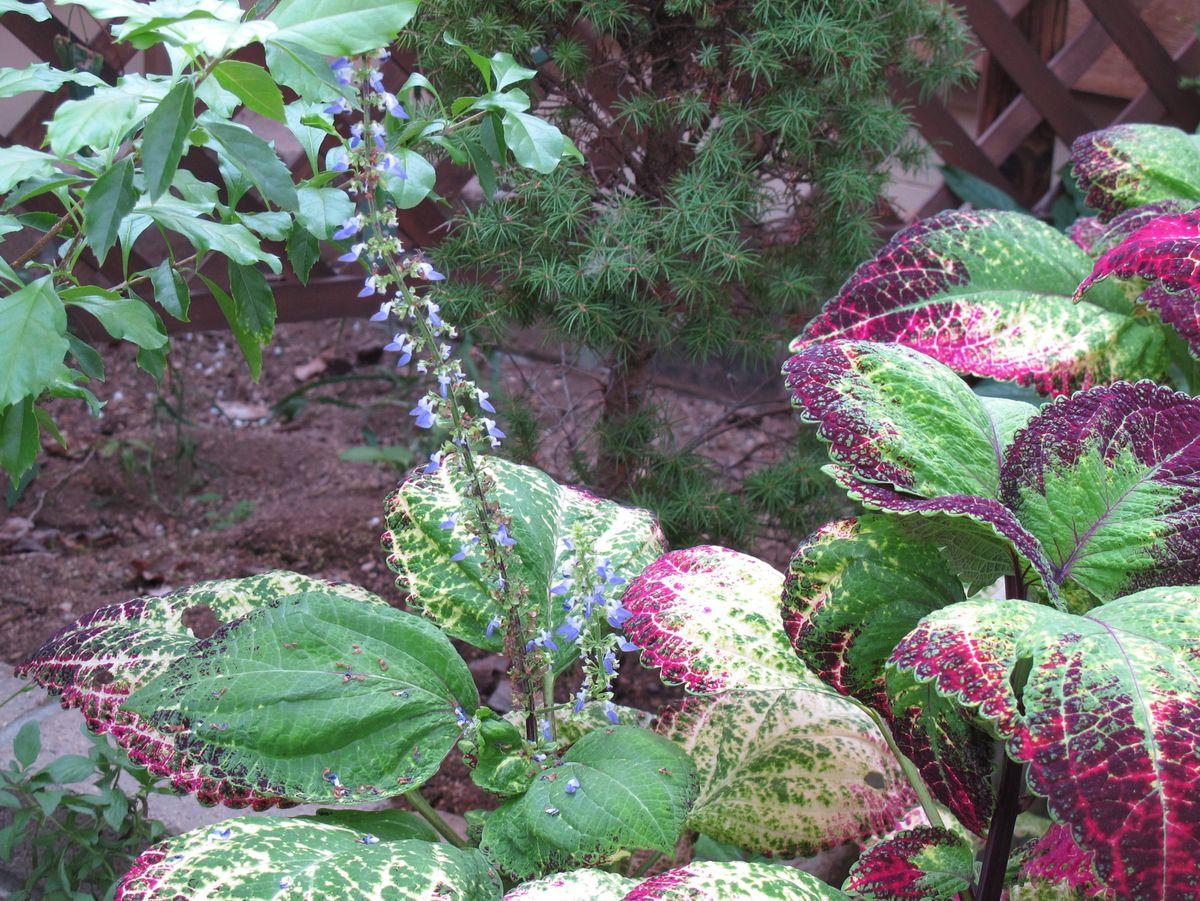 """G11""""11月12日⑦園_143コリウスアップルスターの花●S"""
