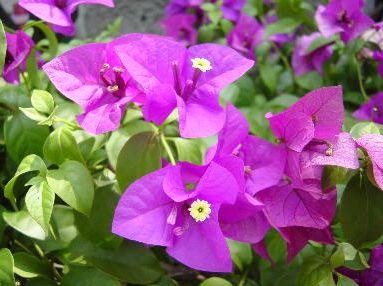 ブーゲンビリアの花季節の花300