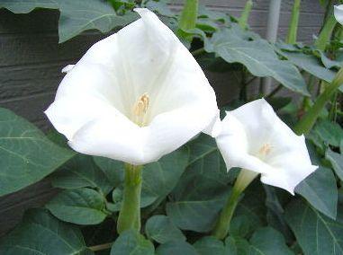 季節の花300さんよりダチュラの花