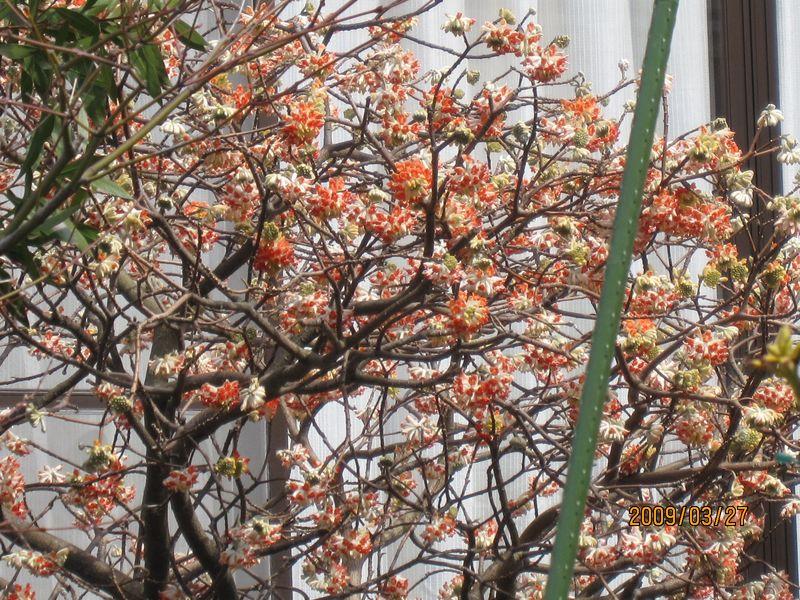 赤花三叉■Sアカバナミツマタ