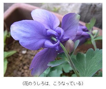 季節の花300さまオダマキ■