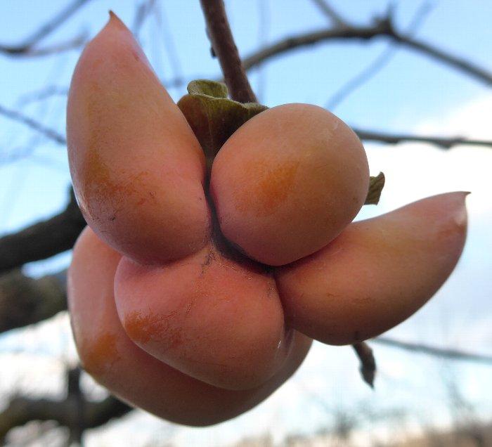さるぼぼ柿発見