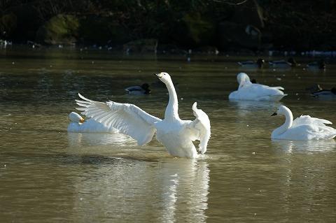 白鳥DSC04259
